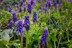 Purple spring flowers in a green meadow royalty free stock image
