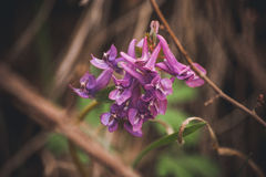 Purple spring flowers hare bell. Marco photo purple spring flowers hare bell Royalty Free Stock Photo