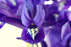Purple spring flowers. Irises close up Royalty Free Stock Photography