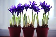 Purple spring flowers irises. In pots Royalty Free Stock Photo