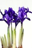 Purple spring flowers irises. On white background Stock Images