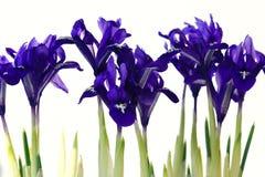Purple spring flowers irises. On white background Royalty Free Stock Photos