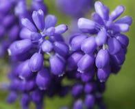 Purple spring flowers. Macro of purple spring flowers Stock Photography