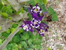 Purple spring flowers. In PA Royalty Free Stock Photography
