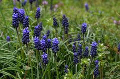 Purple spring flowers. In the grass Royalty Free Stock Photo