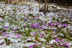 Purple spring flowers in the snow. Small purple spring flowers in the meadow grow in the forest in the snow Stock Photo