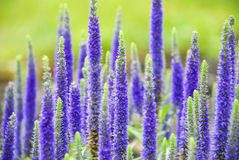 Purple Spring Flowers. Tall blooming purple Veronica perennial flowers in early Spring Royalty Free Stock Image