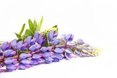 Purple spring flowers on a white background. Decor and symbols Stock Photo