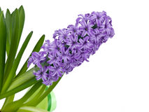 Purple spring hyacinth Stock Images