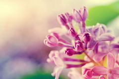 Purple spring lilac flowers blooming close-up Stock Photo