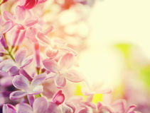 Purple spring lilac flowers blooming close-up. Royalty Free Stock Images