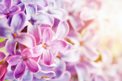 Purple spring lilac flowers blooming close-up. Stock Photos
