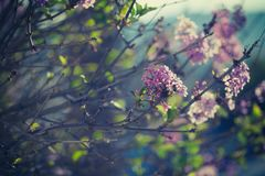 Purple spring lilac flowers blooming close-up Royalty Free Stock Photo