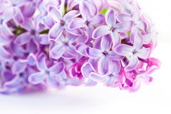Purple spring lilac flowers blooming. On white Royalty Free Stock Photo