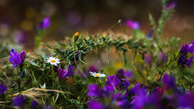 Purple spring Sicilian wildflowers Royalty Free Stock Photography