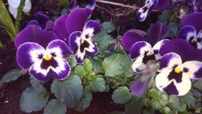 Purple spring. Springtime with purple garden flower Royalty Free Stock Image