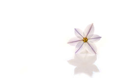 Purple spring star flower in white Royalty Free Stock Photography