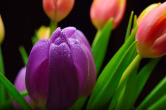 Purple Spring tulip flowers close-up Royalty Free Stock Photography
