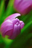 Purple Spring tulip flowers close-up Stock Photography