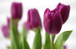 Purple Spring Tulips Stock Image