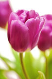 Purple Spring Tulips Isolated Stock Photos