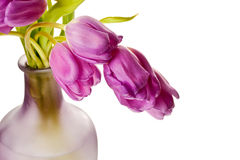 Purple Spring Tulips Isolated Stock Image