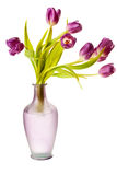 Purple Spring Tulips Isolated Royalty Free Stock Images