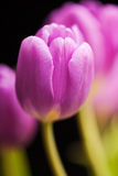 Purple Spring Tulips Isolated Royalty Free Stock Photo