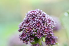 Purple Sprouting Broccoli Stock Photography