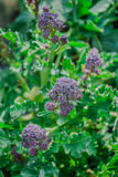 Purple Sprouting Broccoli. Close detail of flowers of Purple Sprouting Broccoli growing in spring Stock Image