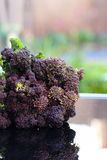 Purple sprouting broccoli outdoors Stock Photography