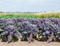 Purple sprouts Royalty Free Stock Photos
