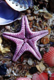 Purple Star Fish on Shells Stock Photography