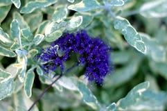 Purple star flower Royalty Free Stock Image