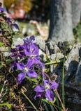 Purple Star Flower Stock Images