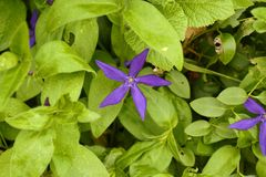 Purple star. Purple flower in the midst of spring green foliage Stock Photography