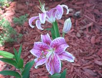 Purple star lilies in spring Stock Photo