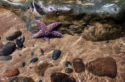 Purple Starfish Stock Photo