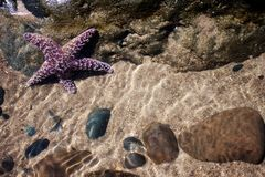 Purple Starfish Stock Image