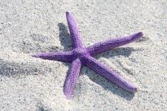 Purple Starfish. From the ocean on sandy beach royalty free stock photos