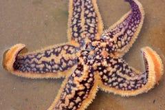 Purple starfish Stock Photo