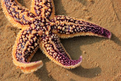 Purple starfish Stock Photography