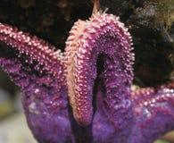 Purple Starfish closeup Stock Photos
