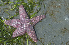 Purple Starfish Royalty Free Stock Photography