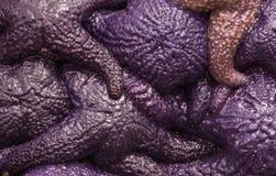 Purple starfish. Solid mass of purple starfish royalty free stock photography