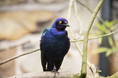 Purple starling Royalty Free Stock Images