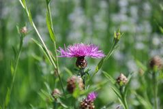 Purple starthistle blooming in meadow stock photography