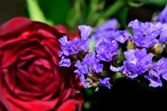 Purple Statice closeup with red rose background royalty free stock photo