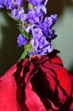 Purple Statice closeup with red rose Stock Photos