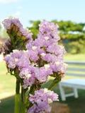 purple Statice, Sea Lavender stock photography